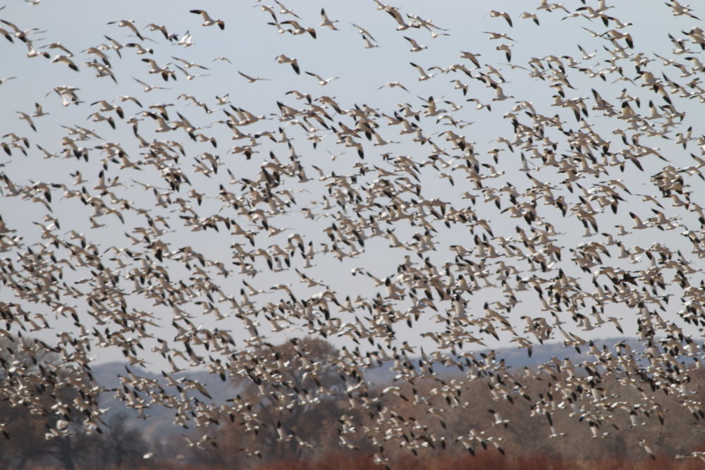The entire viewfinder of my camera was filled with Snow Geese!