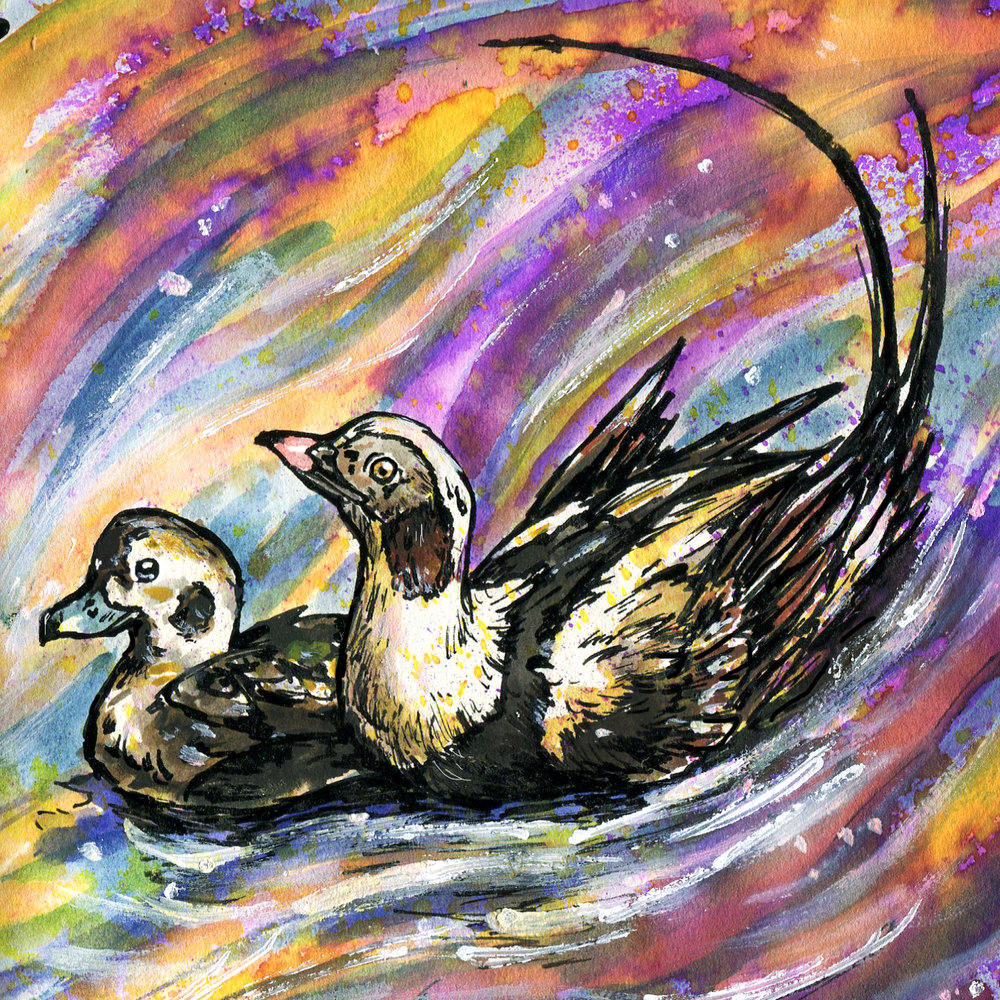 219. Long-tailed Duck
