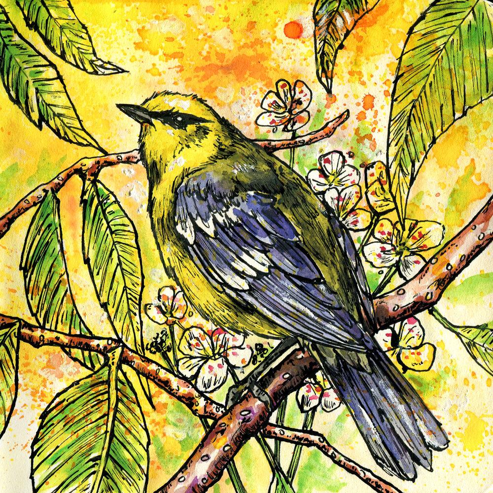 159. Blue-winged Warbler