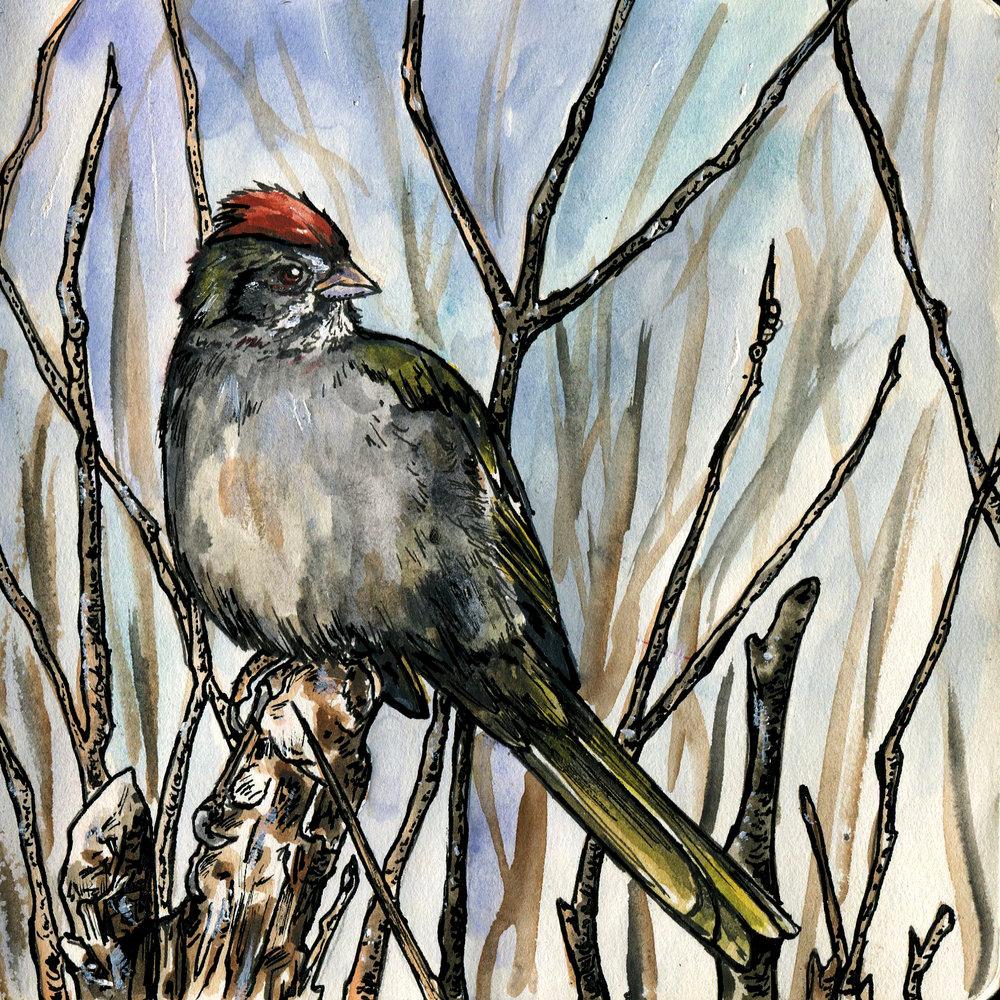 445. Green-tailed Towhee