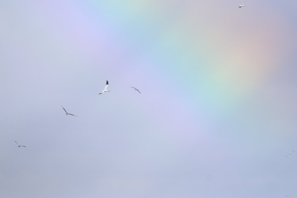 Northern Gannets dancing beneath a full rainbow at First Encounter Beach