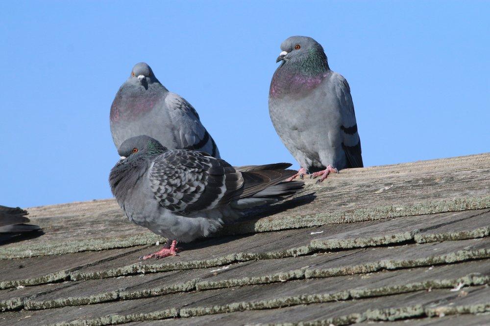 Handsome Rock Pigeons