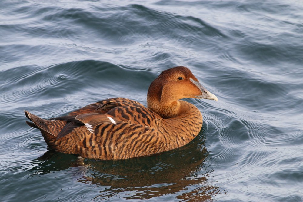 Female Common Eider