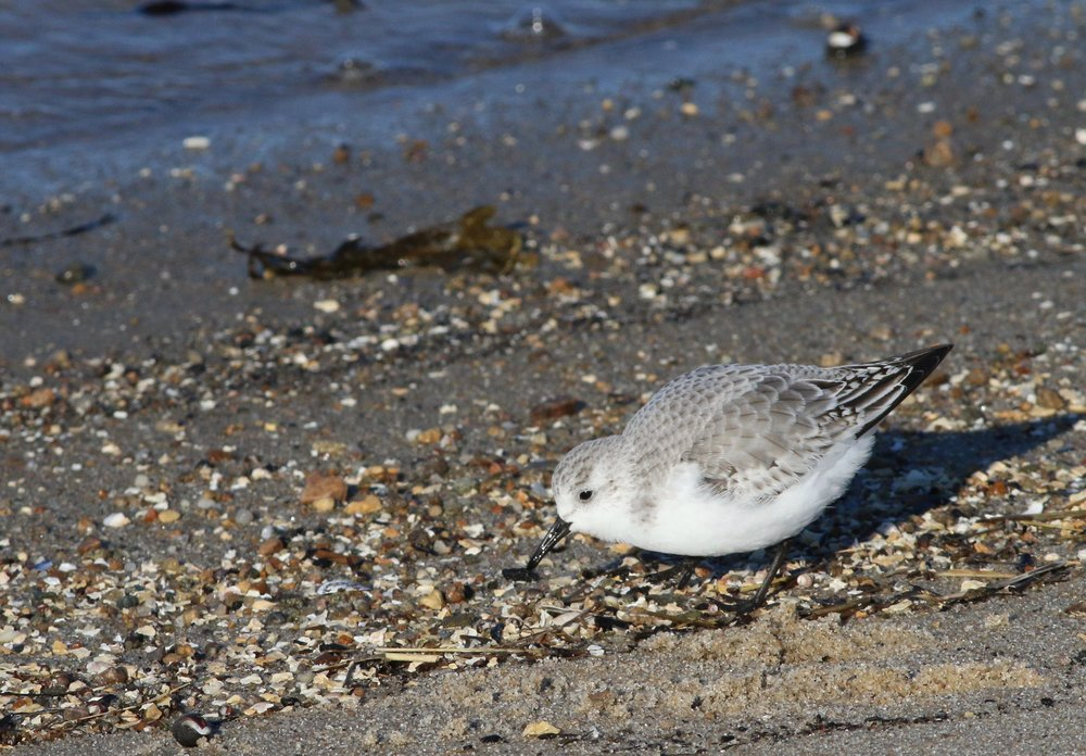 Nothing like the endearing wave-chasing of Sanderlings