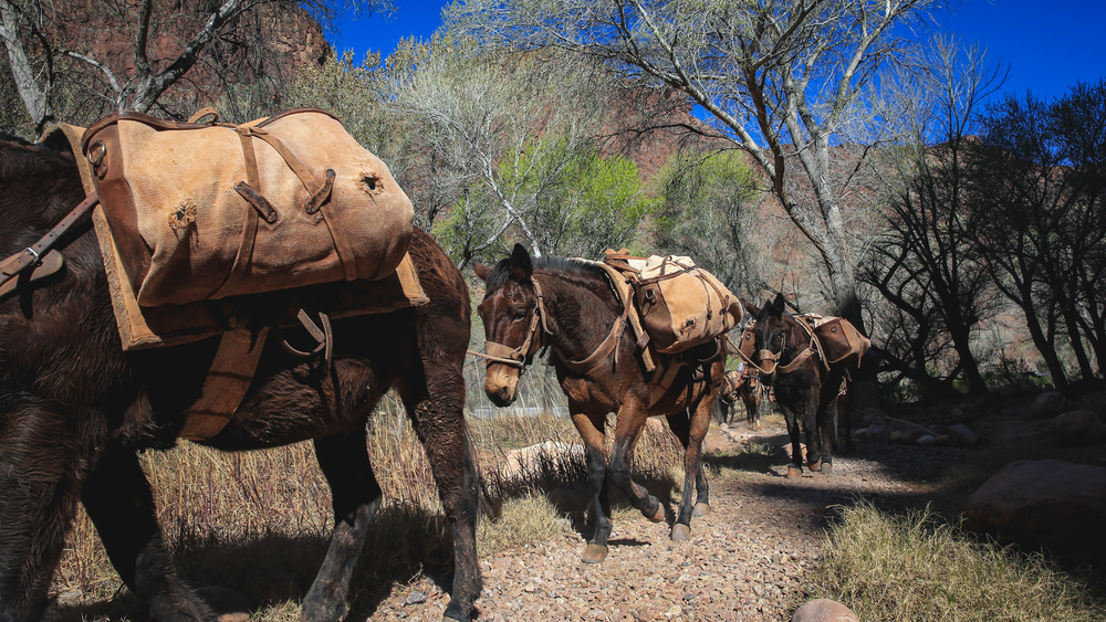Pack Mules - Phantom Ranch