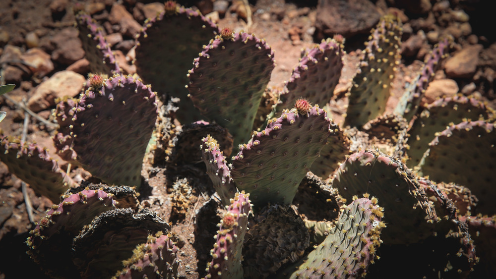 Purple Prickly Pear