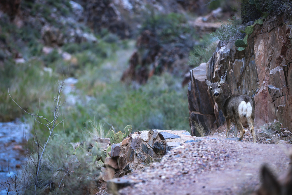 Mule Deer - North Kaibab Trail