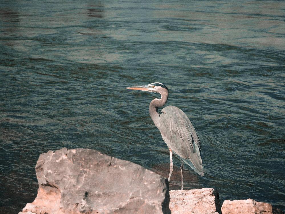 Great Blue Heron.Chickamauga Dam. Chattanooga, TN.