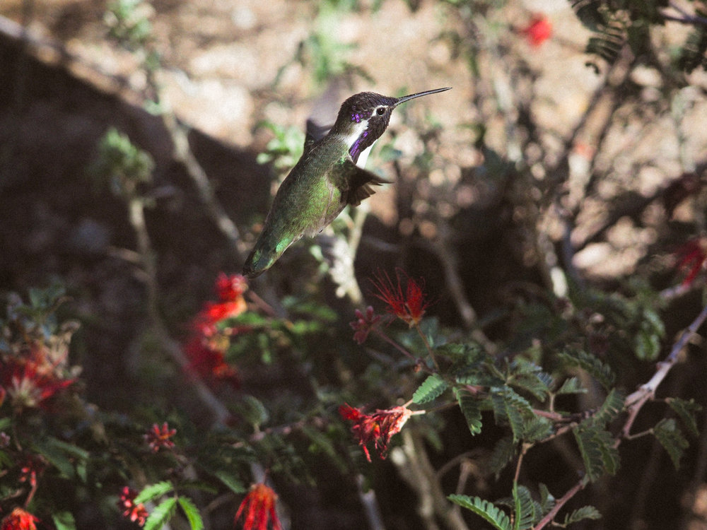 Hummingbird at the Desert Botanical Gardens. Phoenix, AZ.