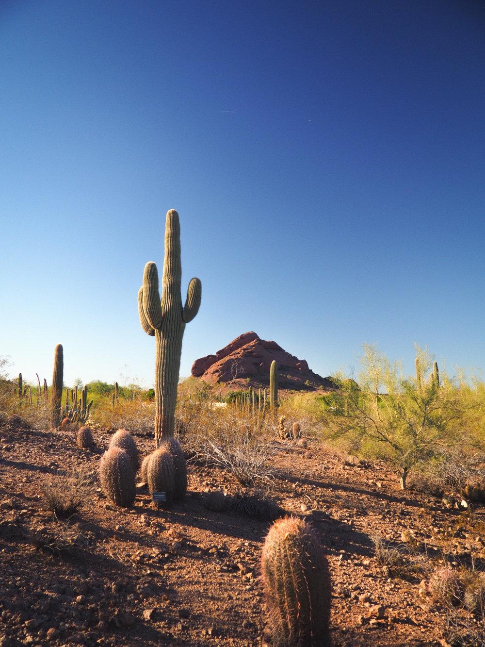 Desert Botanical Gardens. Phoenix, AZ.