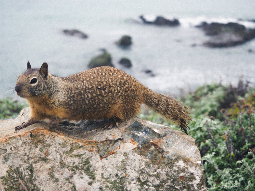 A friendly squirrel along the Pacific Coast Highway.