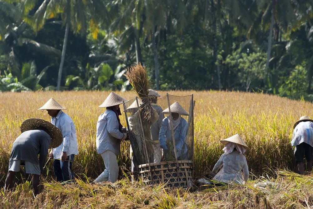 Harvest time | Gianyar, Bali