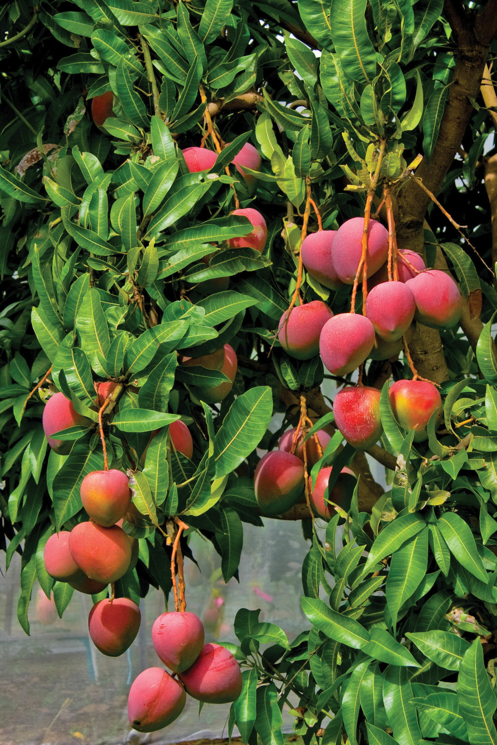 new varieties expressions of interest�mango growers � amia