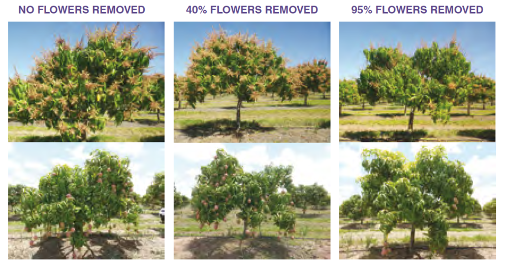 Figure 2.  Calypso® crop load experiment. Trees with 100%, 60% and 5% flowering (top row) and their corresponding yields at harvest (bottom row)