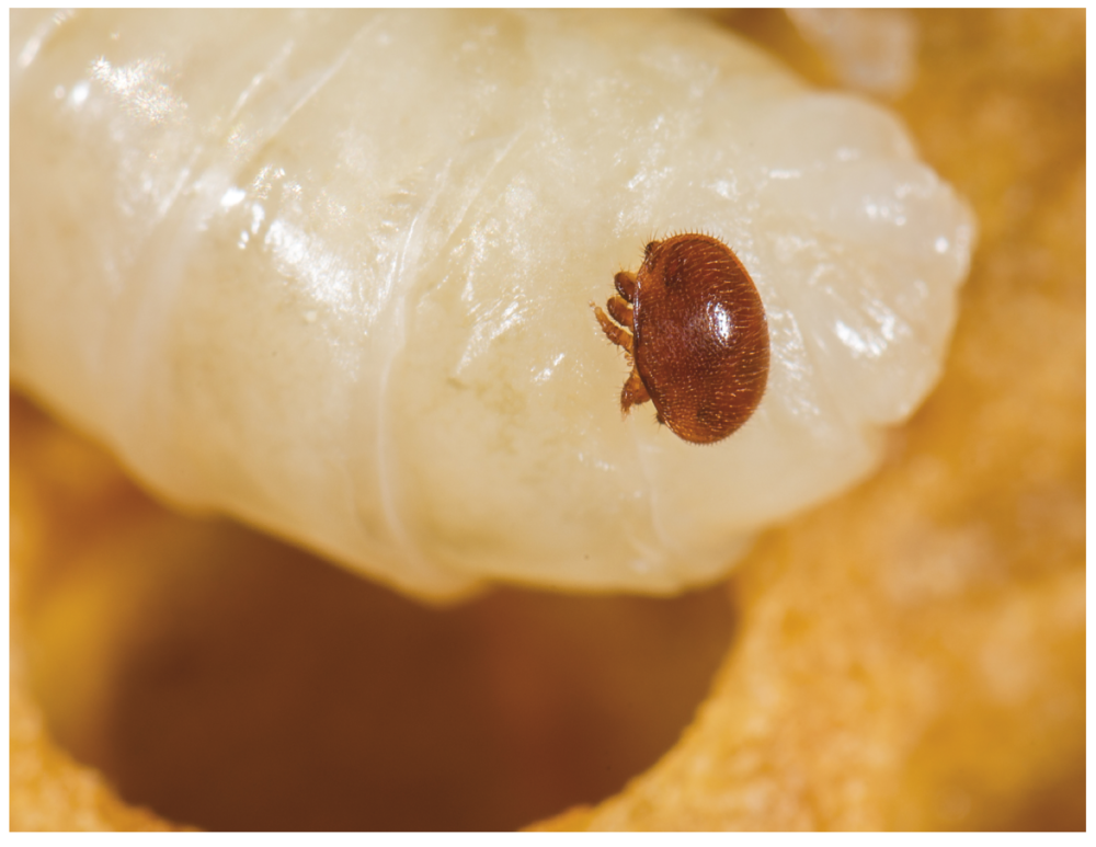 Varroa mite on a honey bee pupa