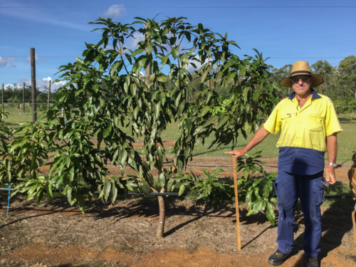 Picture 1: Two-year-old Keitt tree trained with the fan training technique, with casual employee Chris Walsh at Walkamin Research Station.
