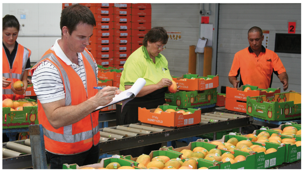Andrew Macnish assessing fruit for USB after road-freight from the Northern Territory to near Caboolture in South East Queensland.