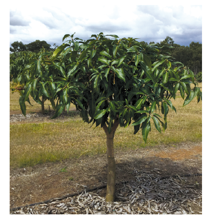 Picture 1.  A three year old, conventionally trained, Calypso mango tree, after pruning from the Planting Systems Trial at Walkamin Research Station. Note that there is more light in the bottom part of the tree and heavy shading in the upper canopy.