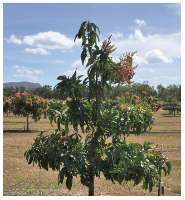 Picture 3. Three year old 'NMBP 1243' mango tree trained as a single leader, from the Planting Systems Trial at Walkamin Research Station. Even distribution of light throughout the canopy can optimize light distribution in the canopy and increase the photosynthetic efficiency of leaves.