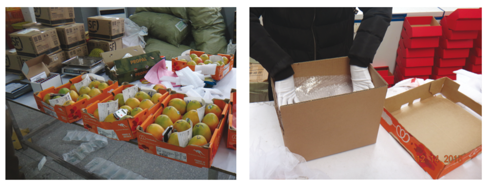 Image 2. Packing of Australian mangoes from trays (left) to a padded cardboard box (right) with six fruit per box for in-country delivery in China.