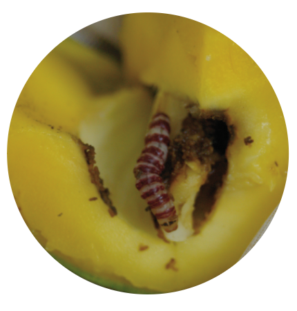 Above: Cut fruit open to expose the inside of the seed to inspect for RBMC larvae which have distinctive dark red bands and a black cap.  Photo: DEEDI.