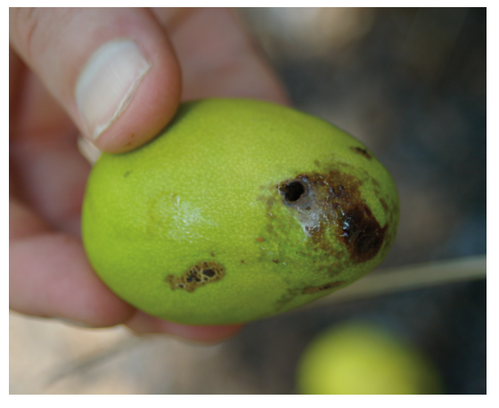 Darkened borehole on the fruit caused by entering larvae. Photo: DEEDI.