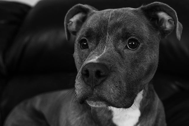 Nothing special, just a picture of my puppers.. if you can't tell he hates pictures🙃 . . . . . . . . #dogsofinstagram #petsofinstagram #pitsofinstagram #sonyalpha #sonya9 #blackandwhite #photooftheday