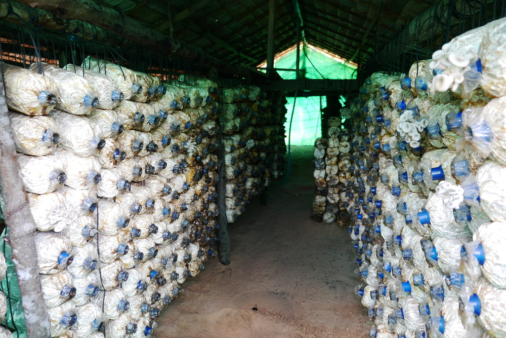 Straw Mushroom Production     Siem Reap and Kampong Thom Province, Cambodia