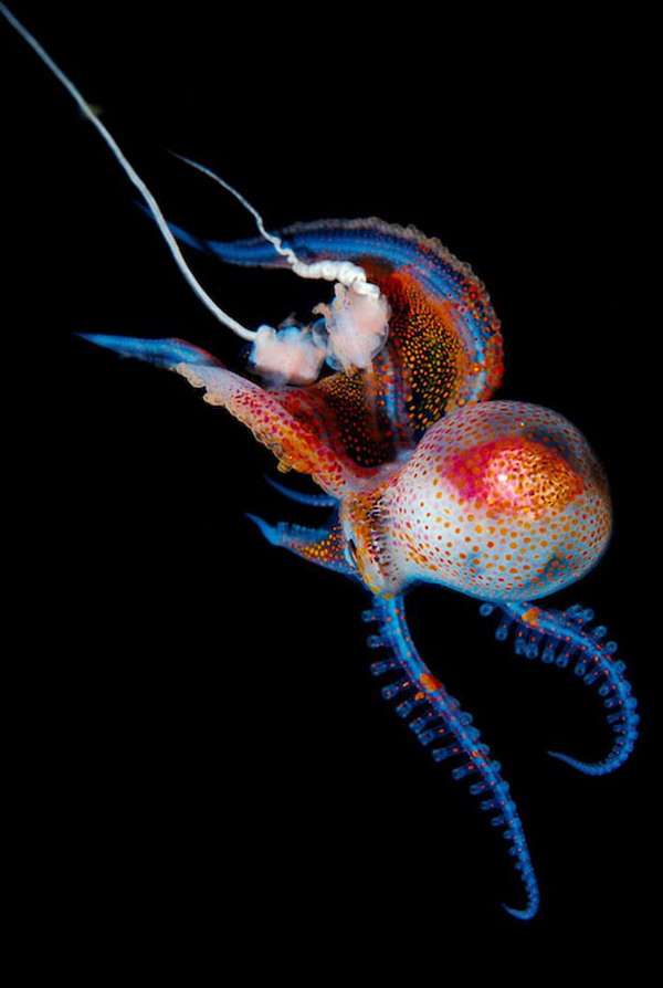 cephalopodsgonewild: by Joshua Lambus