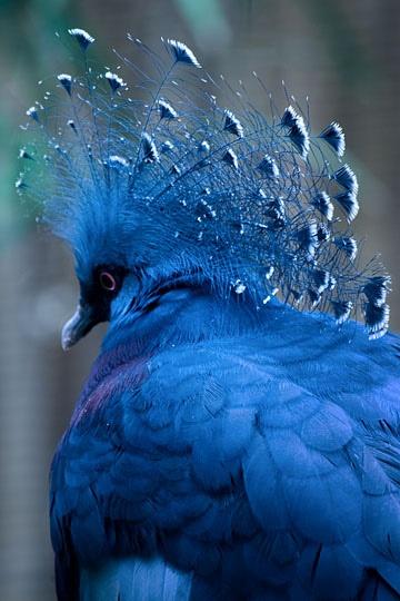 morganna-pagan-raine :     Victoria crowned pigeon