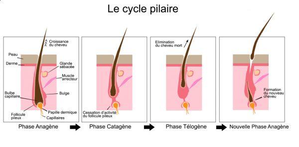 La lumière pulsée est efficace seulement en phase anagène.