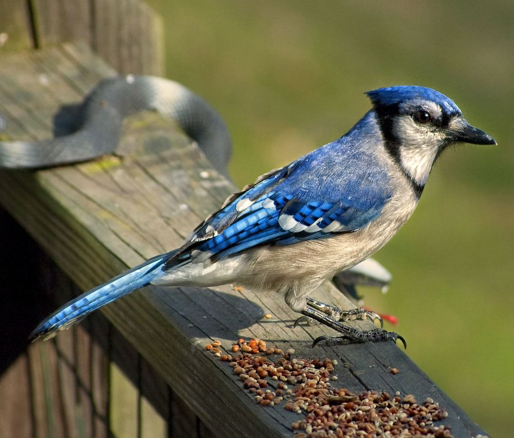 blue jay copy.jpg