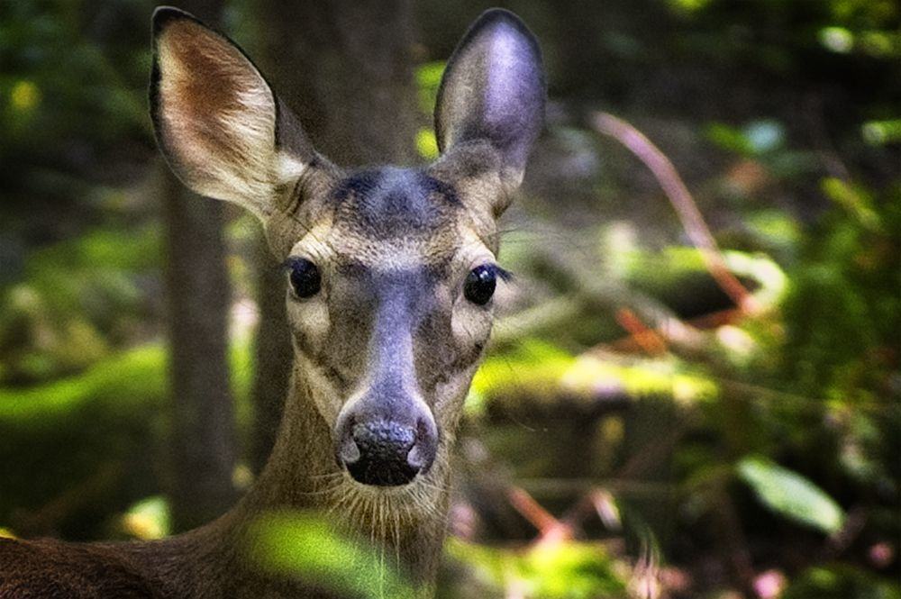 deer portrait1000.jpg