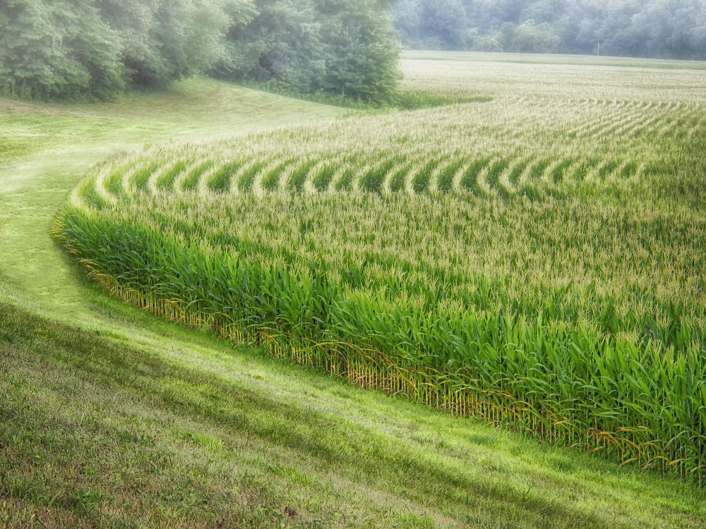 perfect corn field.jpg