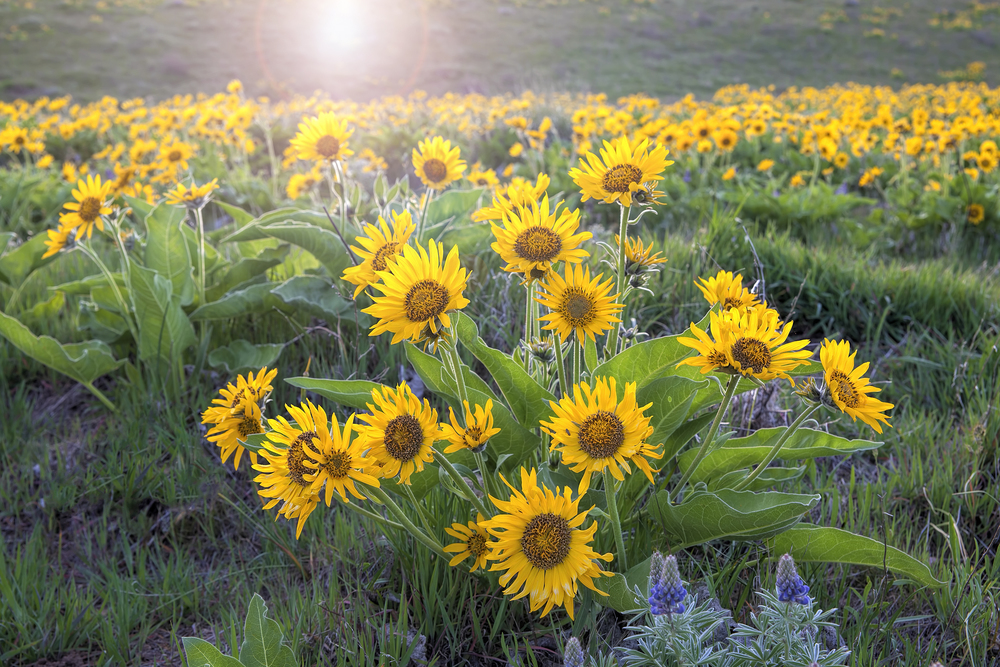 Arrowleaf balsamroot Columbia River Gorge.jpg
