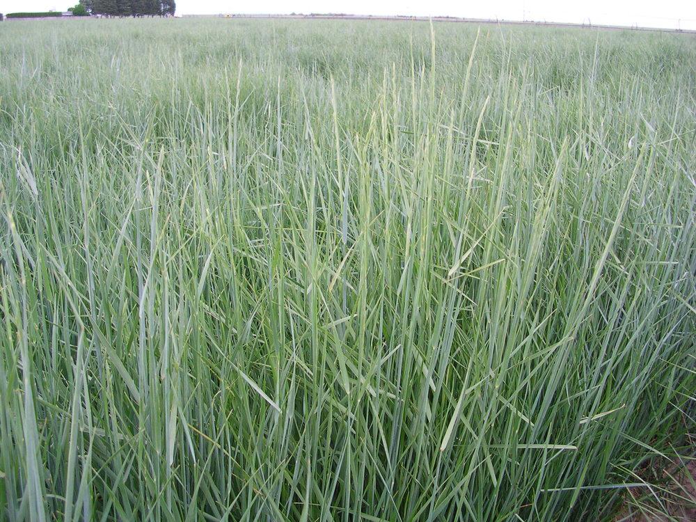 Schwendimar Elymus lanceolatus ssp. lanceolatus (Thickspike wheatgrass).JPG