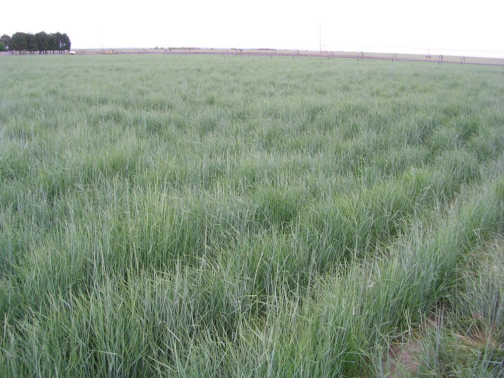 Schwendimar Elymus lanceolatus ssp. lanceolatus (Thickspike wheatgrass) (2).JPG
