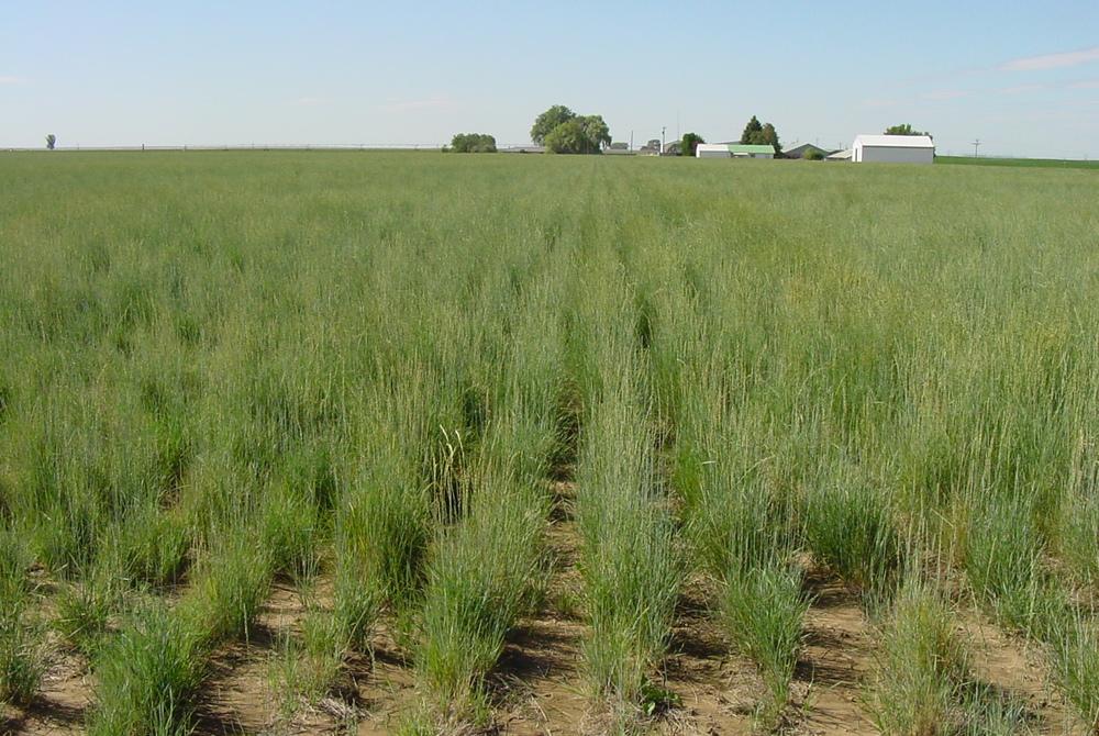 Schwendimar Elymus lanceolatus ssp. lanceolatus (Thickspike wheatgrass) (3).JPG