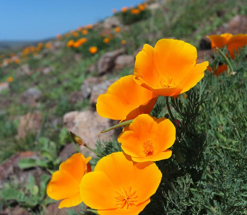 Eschscholzia californica (California poppy) (2).jpg