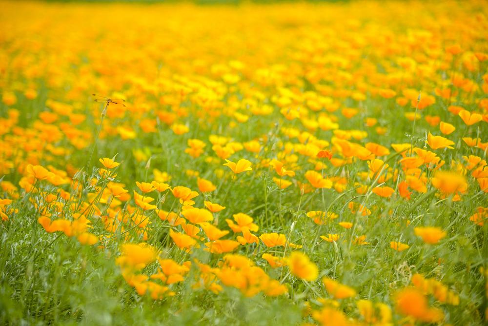 Eschscholzia californica (California poppy) (3).jpg