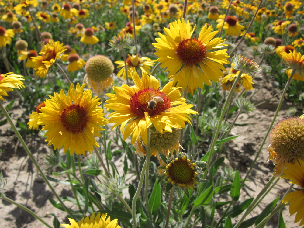 'Meriwether' Gaillardia aristata (Blanket flower)