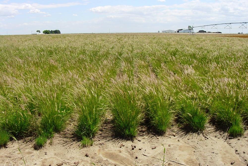 Sims Mesa Prairie Junegrass Koeleria macrantha.JPG