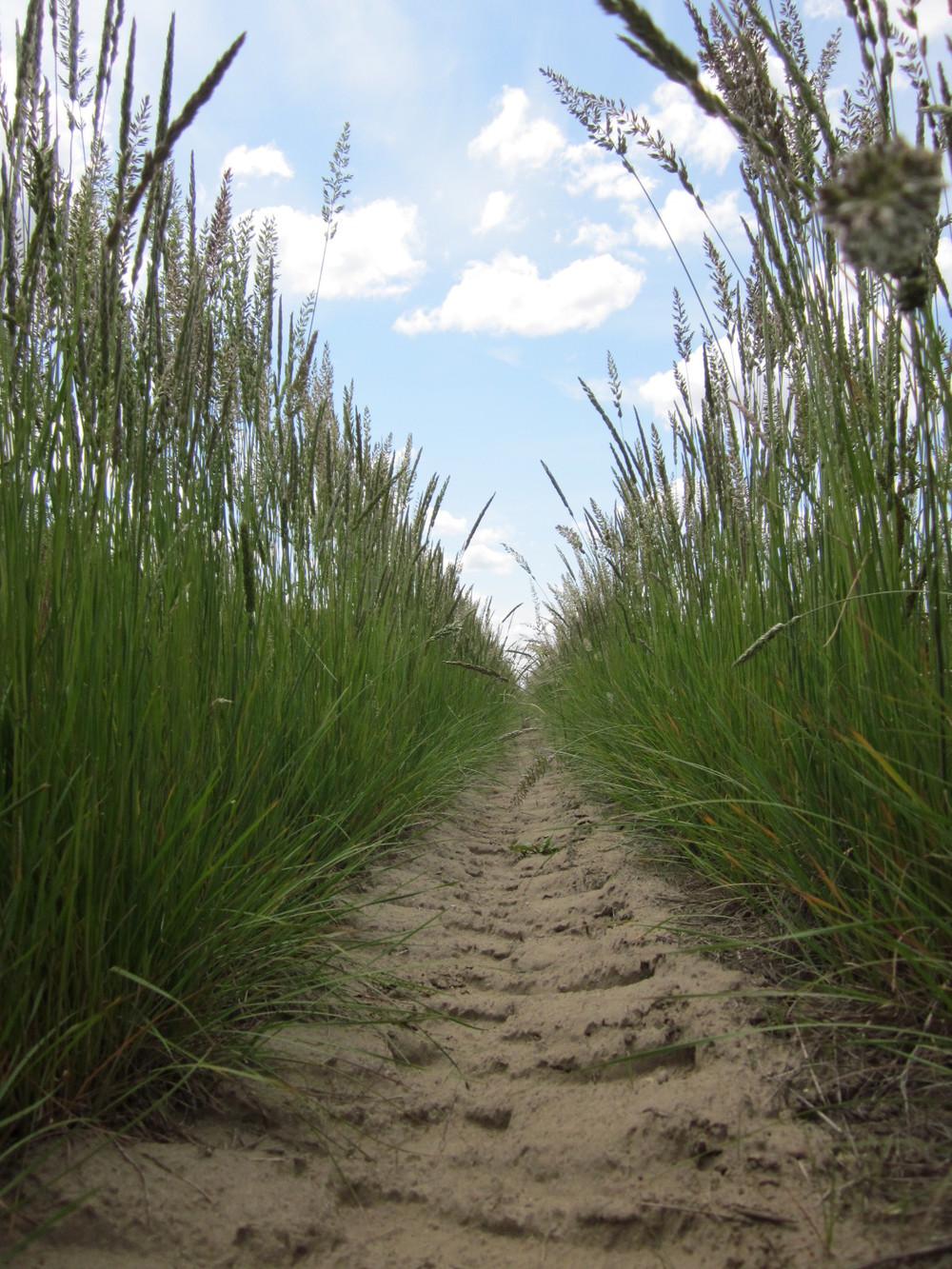 Umatilla Prairie Junegrass Koeleria macrantha (4).JPG