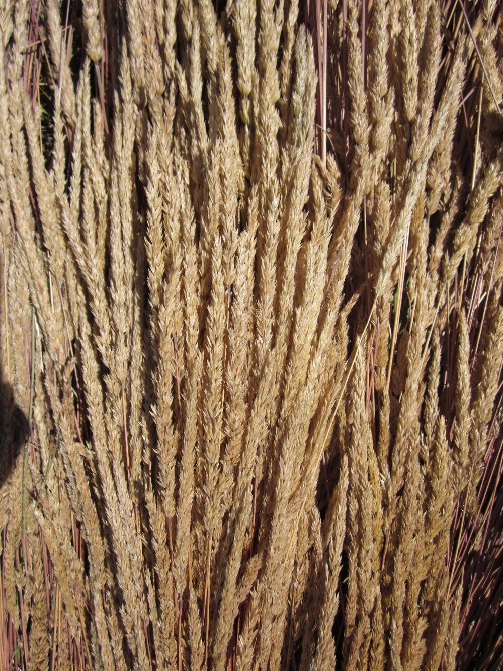 Umatilla Prairie Junegrass Koeleria macrantha (5).JPG