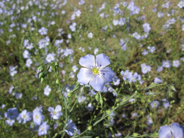 Columbia Blue Flax Linum lewisii.JPG