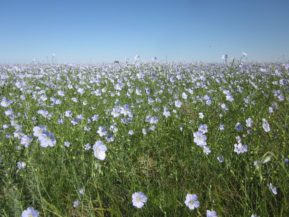 Columbia Blue Flax Linum lewisii (2).JPG