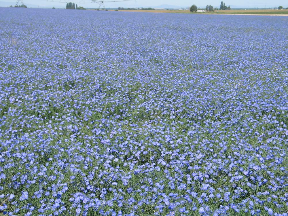 Appar Blue flax Linum perenne (2).JPG