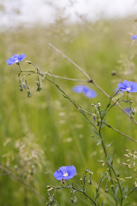 Appar Blue flax Linum perenne (4).jpg