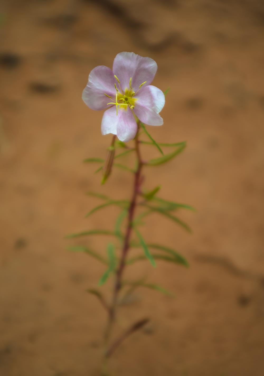 Oenothera pallida (Pale evening primrose) (2).jpg