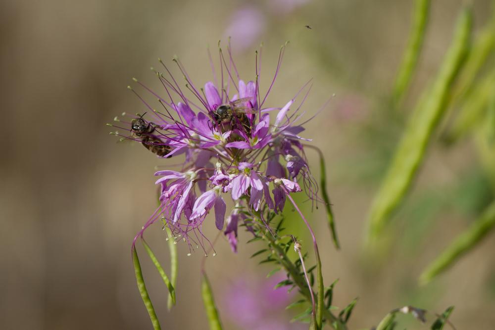 Rocky Mountain beeplant (Cleome serrulata) (3).jpg